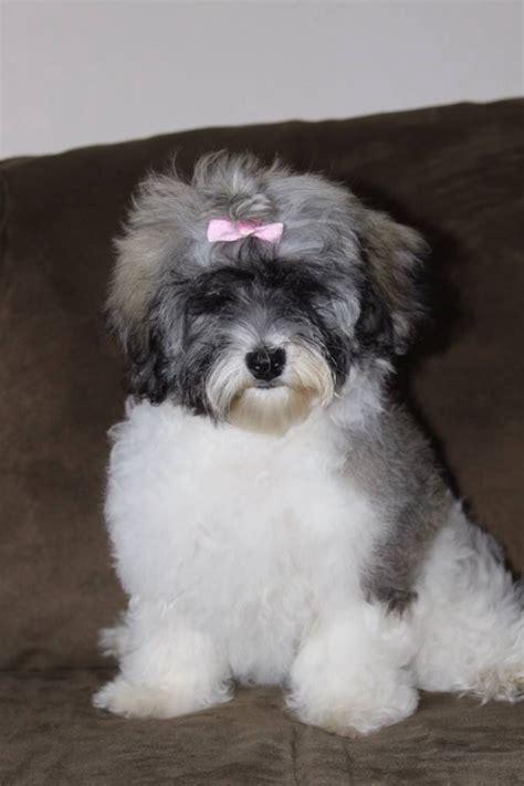 wysteria havanese archives dz havanese havanese puppies for sale
