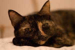 do tortoiseshell cats really have tortitude catster