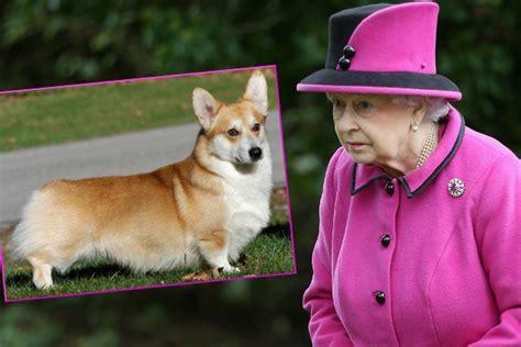 queen elizabeth corgi sorge um corgis die lieblings hunderasse der queen stirbt aus
