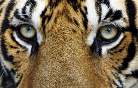 imagenes ojos de tigre 7 datos realmente interesantes y muy curiosos sobre los