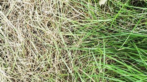 Vertrockneten Rasen Retten by Wie Gelber Rasen Wieder Sch 246 N Gr 252 N Wird