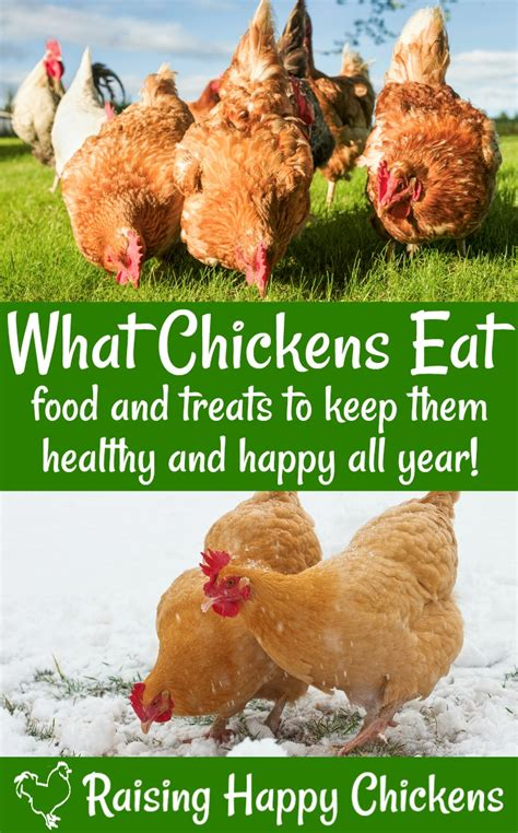 chicken nutrition   backyard chickens eat