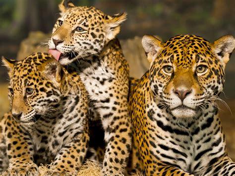 imagenes de jaguar hembra jaguar el m 225 s fuerte de la tierra holatelcel com