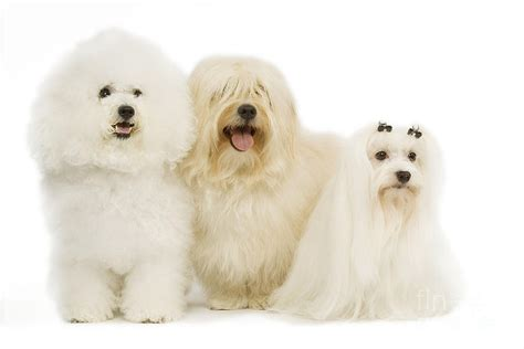 havanese and maltese bichon frise havanese and maltese photograph by jean michel labat