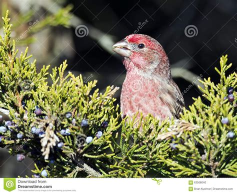 what do baby house finches eat what do house finches eat 28 images 10 000 birds house