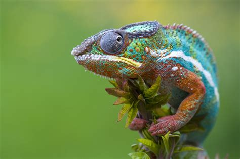 The Chameleon by Chameleon Info Facts And New Photos The Wildlife