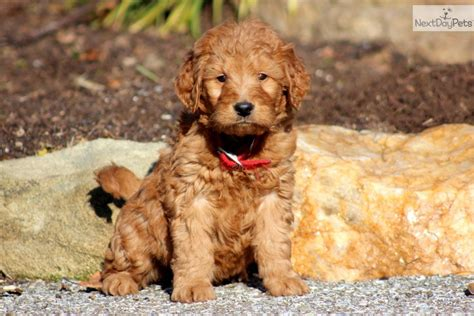 doodle puppy goldendoodle puppy for sale near lancaster pennsylvania