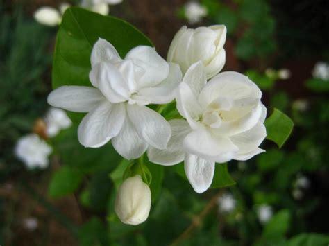 wallpaper bunga melati gambar bunga melati putih tercantik wallpaper