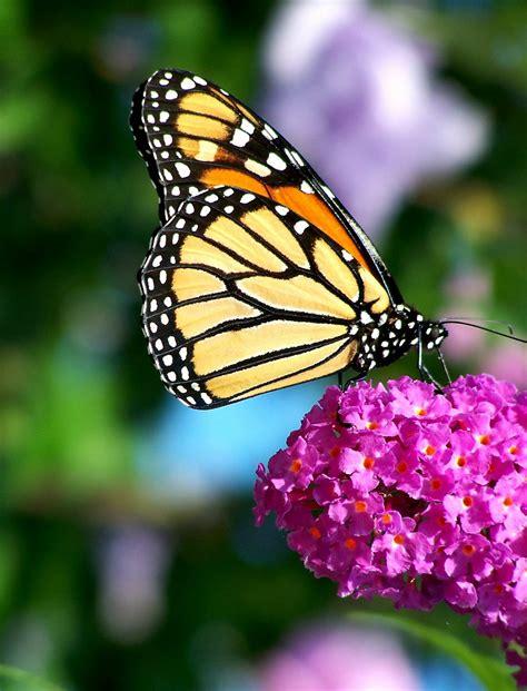butterflies flowers butterflies siobhan baxter