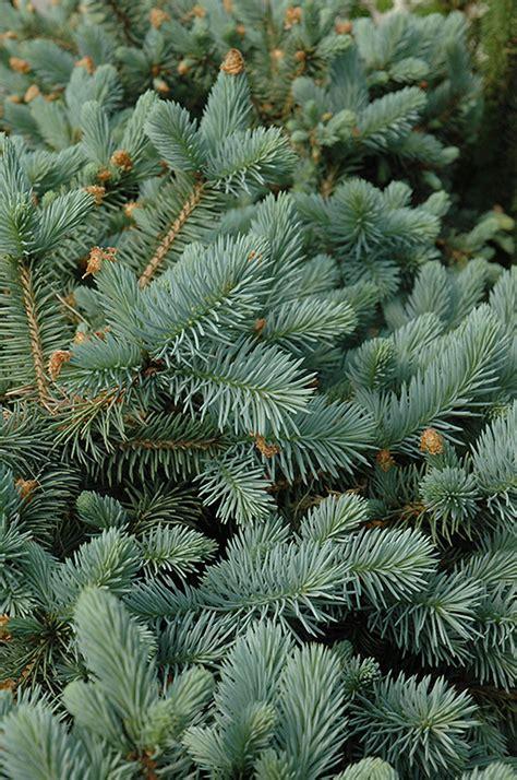 lundebys dwarf blue spruce picea pungens lundebys