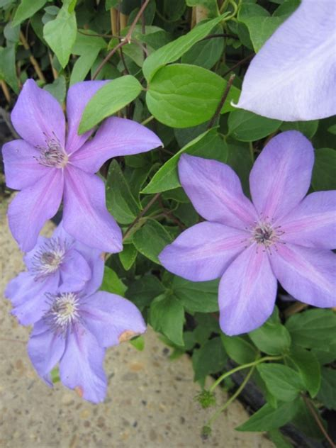 exotische pflanzen kaufen 906 clematis shimmer evipo028 n waldrebe 60 100 cm diese
