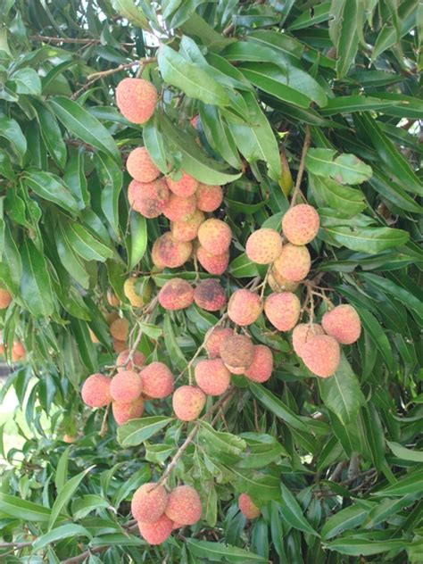 fruit tree growing nematodes and lychee trees me yard