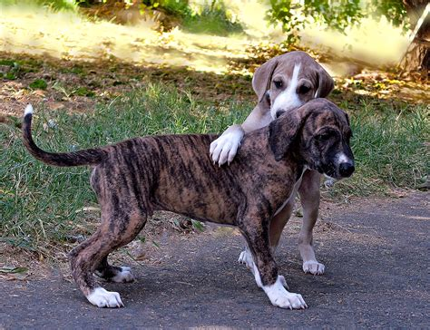 azawakh puppies africans dogs and whippets on