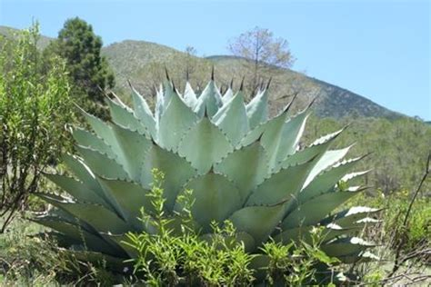 century plant for sale buy agave huasteca giant