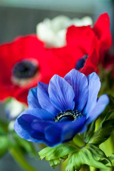 fiori anemoni foto anemoni fotografie stock libere da diritti immagine