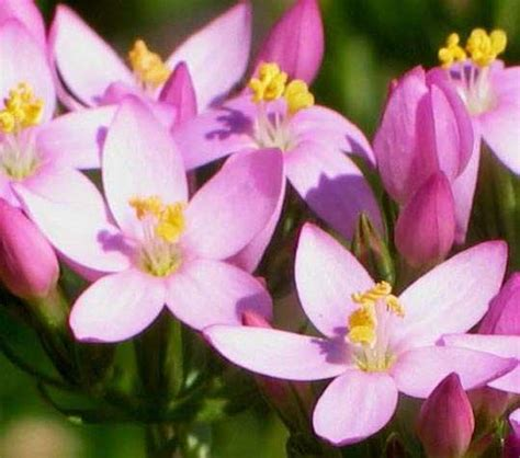 fiori fi bach centaurea minore centaury fiore di bach cosa 232 e a cosa