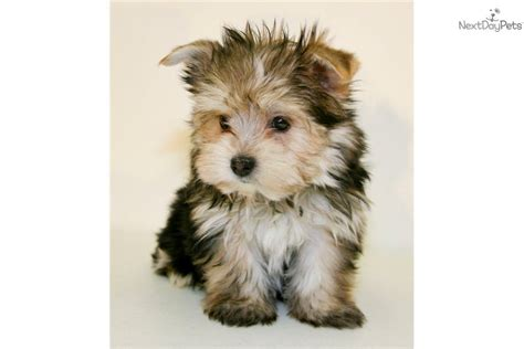 yorkie carriers pin parti carrier yorkie on