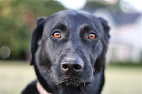 black lab german shepherd mix yellow lab chow mix breeds picture