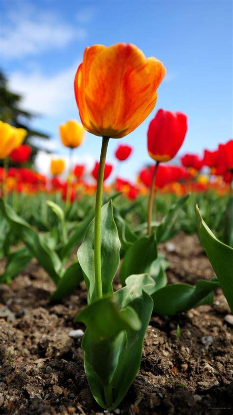 fiori sfondo sfondi desktop fiori 43 immagini