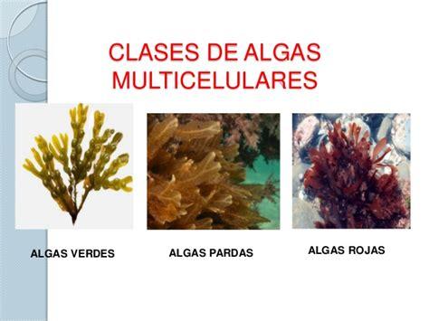 imagenes de algas rojas verdes y pardas reino protista y fungi