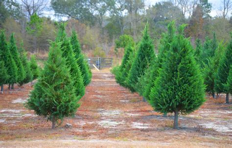 busy elves christmas tree farm outside of albany has been