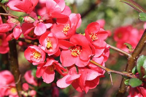 east gwillimbury cameragirl flowering quince today s flowers