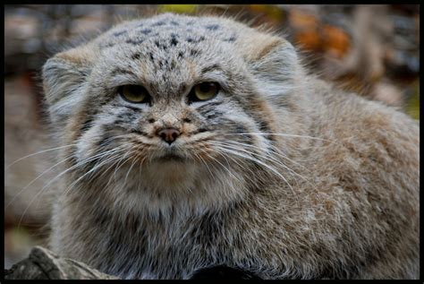 F S Pallas 443 Pallas S Cat I You By Morho On Deviantart