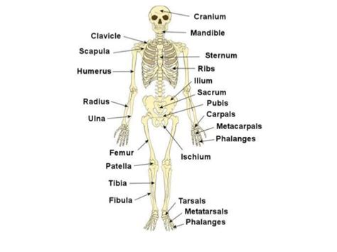 anatomy and physiology coloring workbook chapter 5 anatomy and physiology coloring workbook answers chapter 5