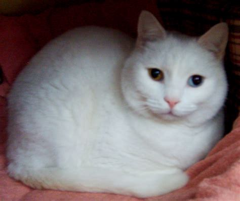 white cat images of white cats www imgkid the image kid has it