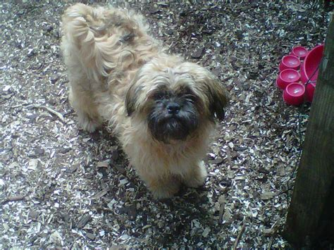 shihtzu pug pug 1 4 shih tzu 375 posted 1 year ago for sale dogs pug quotes