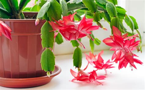christmas cactus how to grow and care for christmas cactus