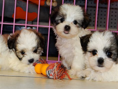 puppies atlanta pin malti tzu dogs on