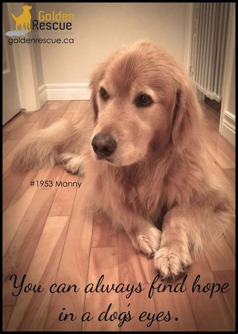 golden retrievers top golden retriever sites forums golden retriever pictures with sayings www pixshark com