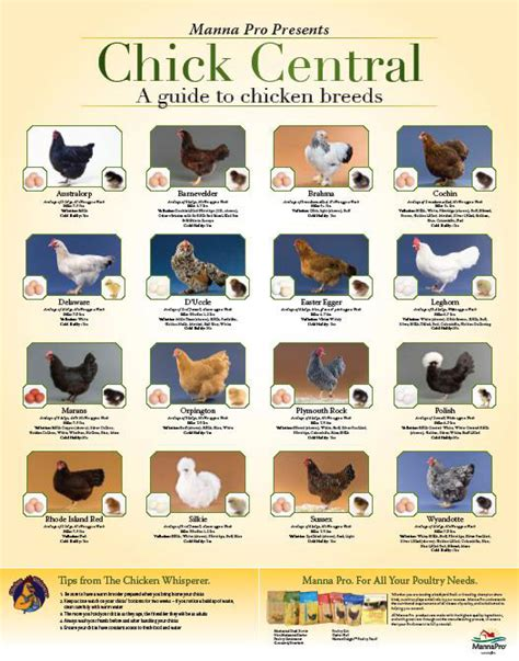 breed identifier chicken breeds chart quotes