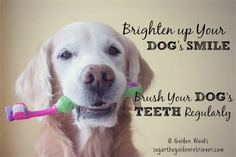 brush dogs teeth say no to dental disease brush your s teeth golden woofs