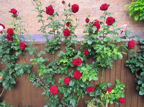 Large Garden Trellis Climbing Roses Style Roses