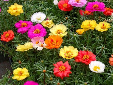 best flowers 22 best flowers for full sun heat tolerant flowers for