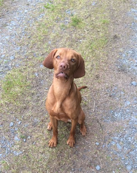 vizsla puppies for sale vizsla puppies for sale uk page 2 vizsla puppies for breeds picture