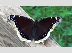 Mourning Cloak Butterfly (Nymphalidae: Nymphalis antipoda ... Kmk