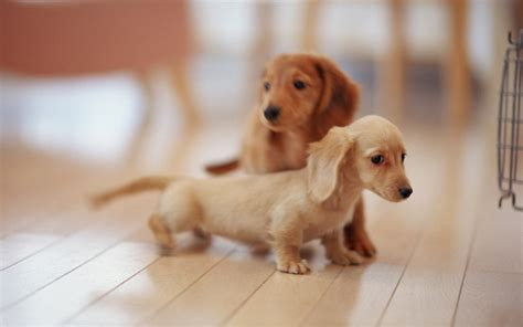 mini dogs puppy dogs miniature dachshund puppies