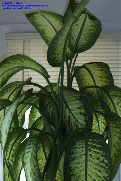 dumb cane dieffenbachia best low light houseplants dumb cane dieffenbachia seguine inspiration for the