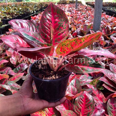 Aglonema Stardas 71 best aglaonema evergreen images on evergreen and packing