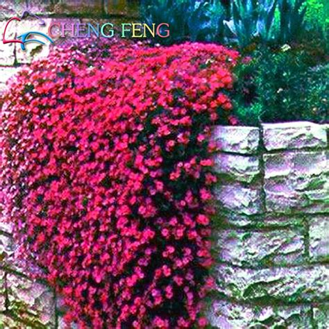 best evergreen climbing plants compare prices on climbing plants evergreen
