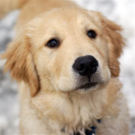 magik golden retrievers baby golden retrievers puppies wallpaper