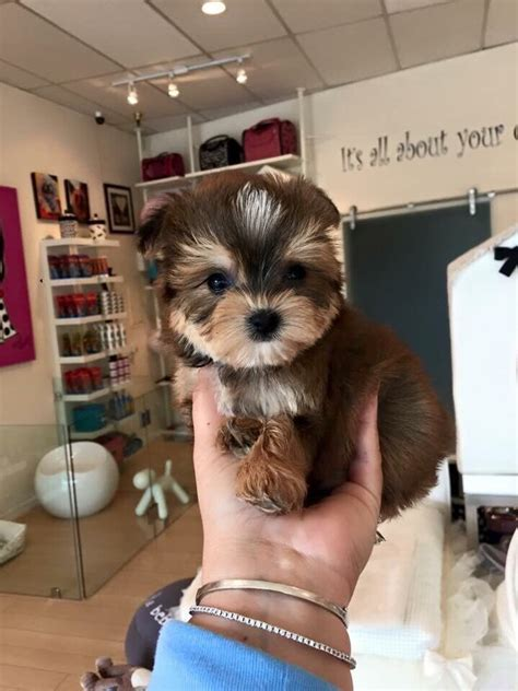 woof woof puppies boutique morkie maltese yorkie beautiful baby at woof woof puppies boutique yelp