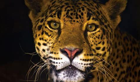 imagenes del multicitado jaguar libros de oaxaca el jaguar en oaxaca libro enciclop 233 dico