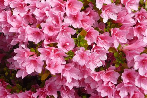 fiori azalee azalea storia e linguaggio dei fiori il giardino tempo