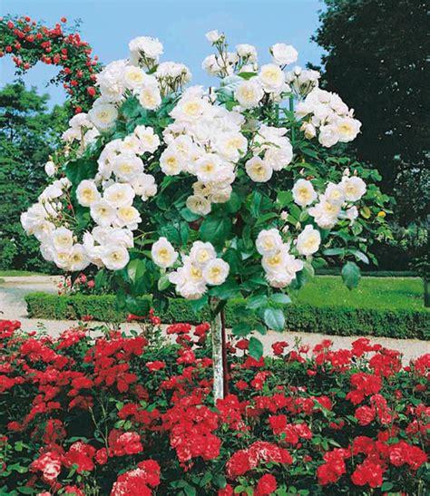 Winterharte Blumen Die Lange Blühen 120 by St 228 Mmchen Alabaster 1a Qualit 228 T Kaufen Baldur Garten
