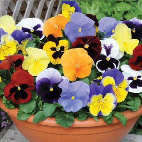 imagenes de flores llamadas pensamientos plantas para el invierno resistentes al fr 237 o ecoagricultor