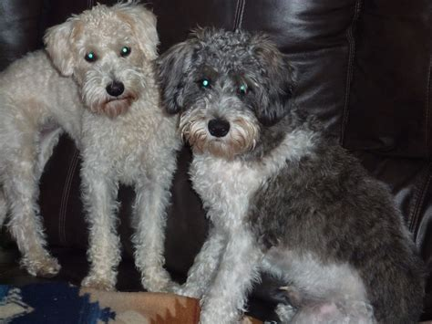 Have been offered a schnoodle i have been offered many things in my